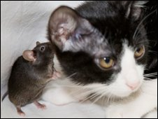A genetically modified mouse plays with a cat at Tokyo University 13/12/2007
