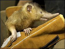 Hispaniolan solenodon (Gregory Guida)