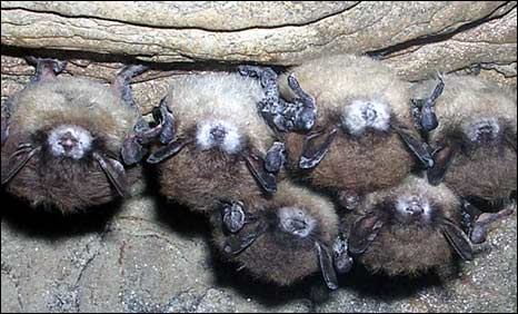 Bats with white nose fungus. Pic: Alan Hicks/Bat Conservation Trust