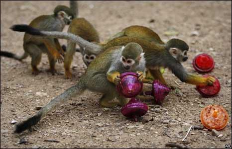 Squirrel monkeys in Kfar Daniel, Israel, play with dreidels
