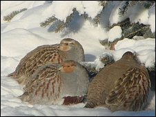 Lorne Thompson sent this picture of Grey Partridge trying to keep warm in his backyard in Calgary, Alberta.