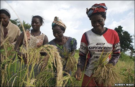 Women harvesting rice grown in Carysburg