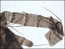 Tail specimen (P. Selden)