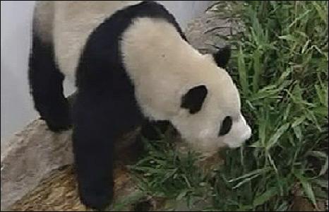 Panda in Taipei zoo, Taiwan (23/12/2008)
