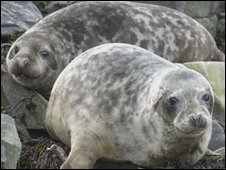 Rescued grey seals