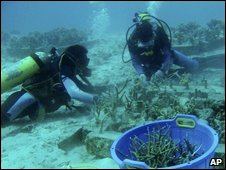 Divers transplant corals off Aceh, Indonesia, June 2008