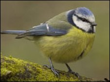 Blue tit