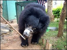 Rescued bear Chitra