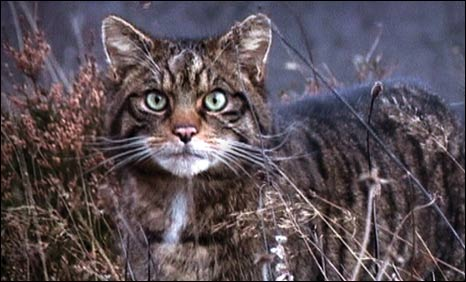 Wildcat. Pic: Steve Piper/Scottish Wildcat Association