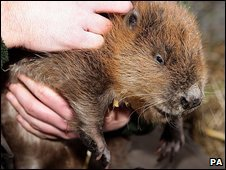 Upcott Grange Farm beaver. Pic: PA