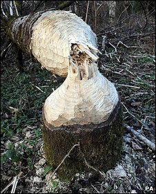 Tree felled by beaver. Pic: PA