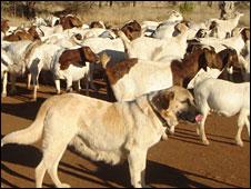 Anatolian Kangal dogs guarding livestock