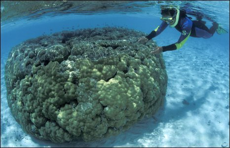 Porites corals, Great Barrier Reef, Australia