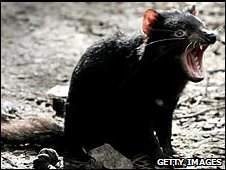 A Tasmanian Devil bares its teeth at a quarantine facility August 31, 2005 in Hobart, Australia