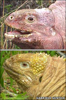 Two varieties of iguana