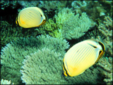 Butterfly fish (Image: JE Maragos) 