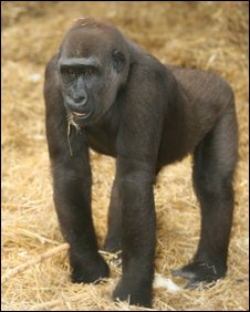 Western lowland gorilla at Chessington