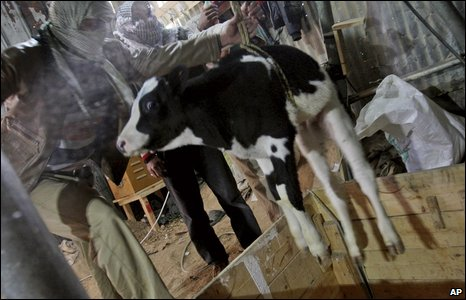 A calf being smuggled into Gaza
