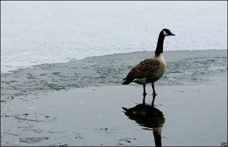Goose in Ashford, Kent