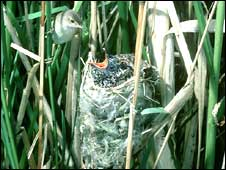 Reed warbler feeding cuckoo chick