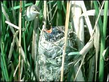 Reed warbler feeding cuckoo chick