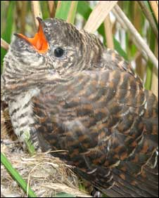 Cuckoo chick. Photo by Graham Ross of Mike Birkhead Associates 