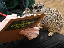 A meercat being counted at London Zoo on 8 January 2009