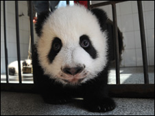A baby panda at Sichuan reserve 08