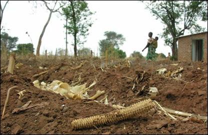 Кукурузное поле в Малави