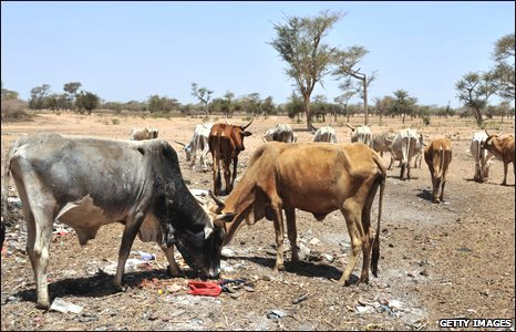 Cattle during drought, Senegal
