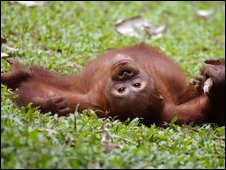 Orang-utan in the rainforest of Borneo