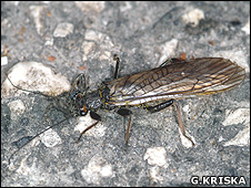 Stonefly (Image: Gyorgy Kriska)