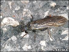 Stonefly (Image: Gyorgy Kriska)