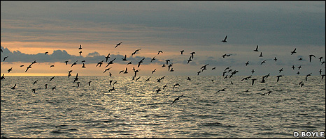Manx shearwaters (Image: David Boyle)