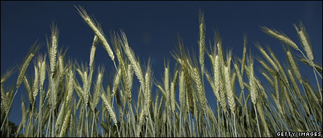 Wheat field in Germany (2008)