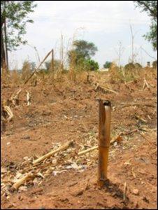 Maize field, Malawi