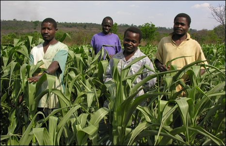 Maize field, Malawi