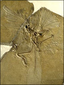 Archaeopteryx (NHM)