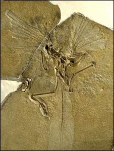 Archaeopteryx (NHM)