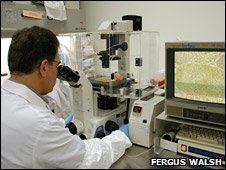 Stem cells examined under the microscope