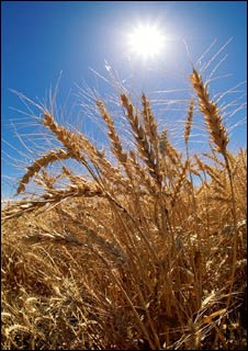 Sun on wheat field
