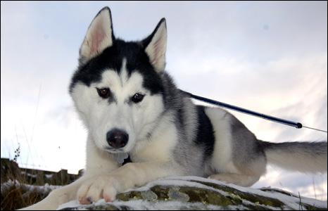 siberian husky puppies in snow. siberian husky puppies