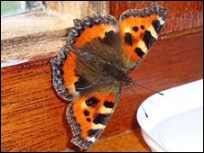 The Small Tortoiseshell Butterfly in Troy Scott's home