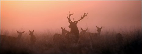 Stag in early morning mist (Getty Images)