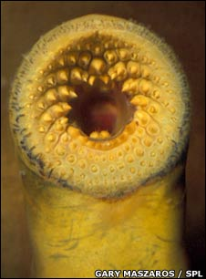 Lamprey mouth
