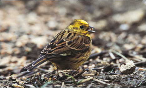 Yellowhammer - photo: Andy Hay/RSPB