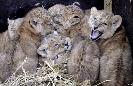 Nine baby lions, at the Serengeti wildlife park in Hodenhagen, western Germany