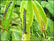 Armyworm (Liberia's agriculture minister website)