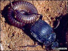 Dung beetle attacks millipede