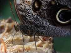 Owl Butterfly at RSH Wisley